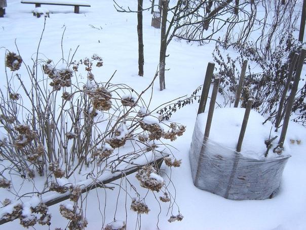 готовь урожай летом. или первая помощь растения после снега зимы у нас нынче на редкость переменчивые. нежданная оттепель в январе может погубить осенние посадки. надеяться на пушистый снежный