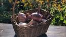 Как получить крупный урожай с озимого чеснока Правильная посадка чеснока