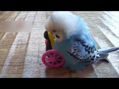 САМЫЕ СУМАСШЕДШИЕ ПОПУГАИ приколы с попугаями животными
