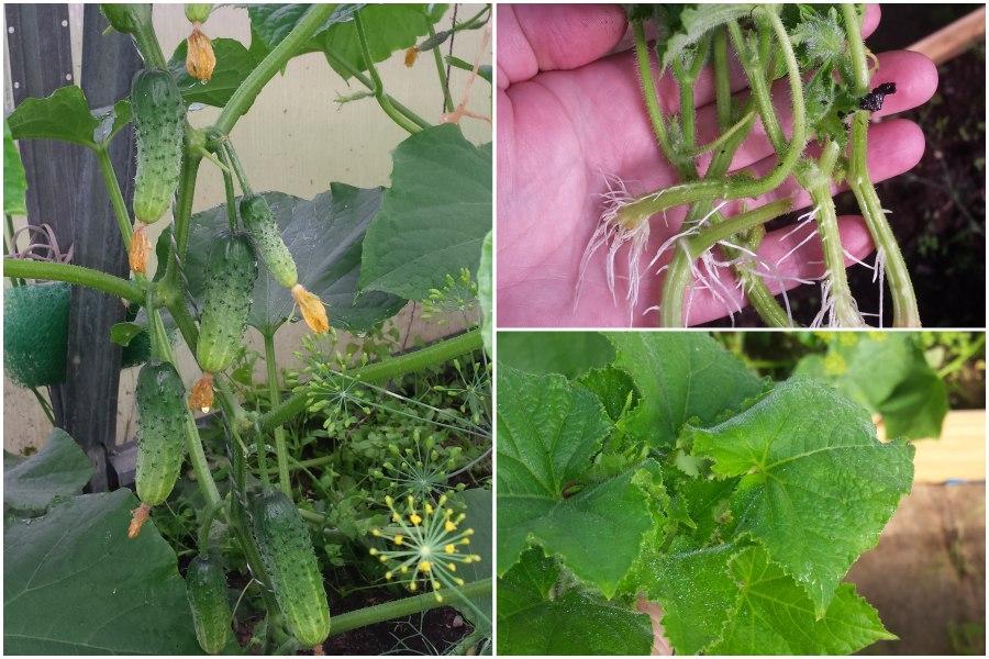 Размножение помидоров и огурцов с помощью пасынков