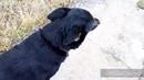 Прогулка с собакой Диной без поводка на поляне поле