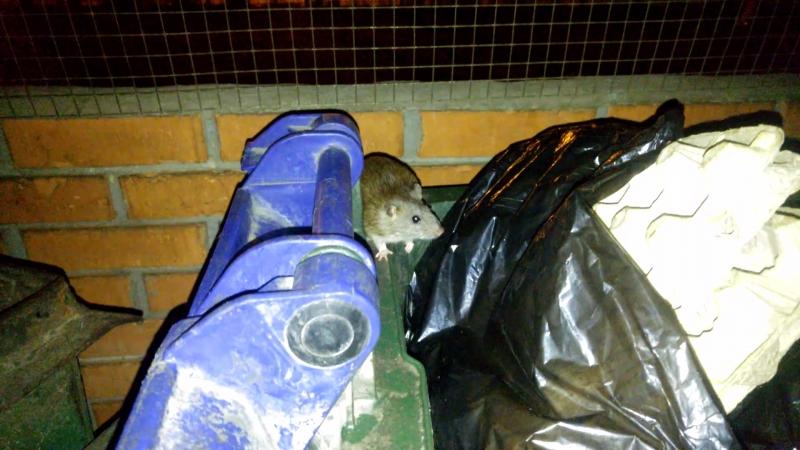 20180414_Сладики. Крысы на помойке