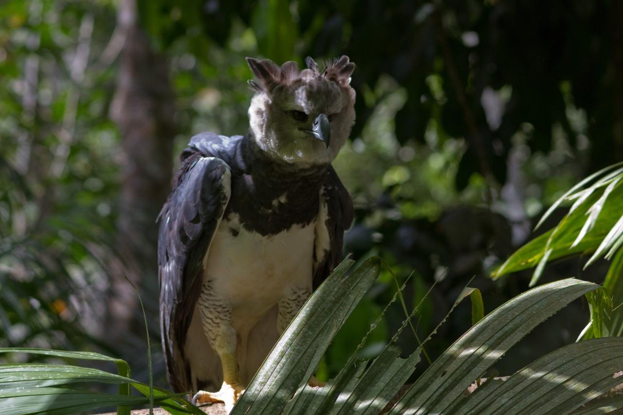 птица гарпия