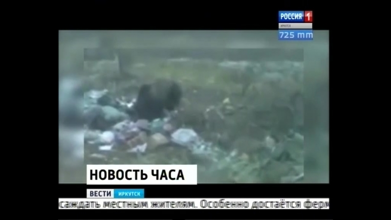 Медведи стали чаще досаждать местным жителям в посёлке Невон Усть-Илимского района