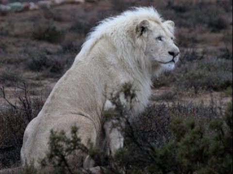 Beyaz Aslan Belgeseli Türkçe Dublaj İzle
