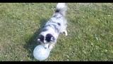 sheltie and balloon