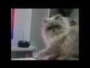 американский Дон корлеона кошачий
