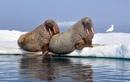 Моржи способны замедлять свой ритм сердца, чтобы организм выдержал низкую температуру воды.