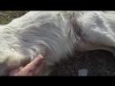 Собачонок болеет (ему не больно, просто он млеет от почёсываний)