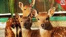В пермском зоопарке родились два «Бэмби»