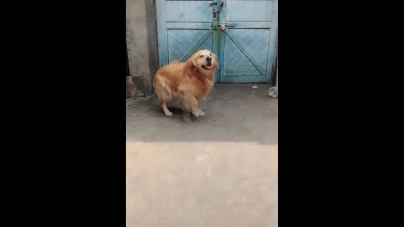 Пёс-джентльмен