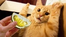 Funny Cats Reaction To Smelling Durian | Top Cats Video Compilation