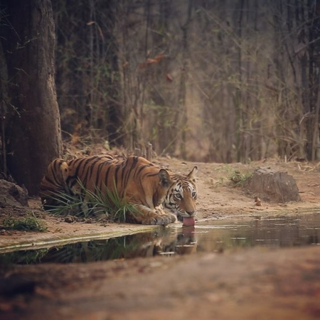"""Sachin Rai on Instagram """"Made this short video of a young tigress in Bandhavgarh couple of years ago. bandhavgarh bandhavgarhnationalpark…"""""""