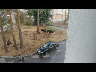 Файтинг лосей на районе