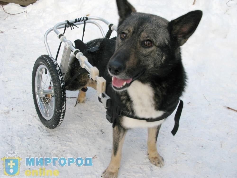 Пес передвигается на инвалидной коляске