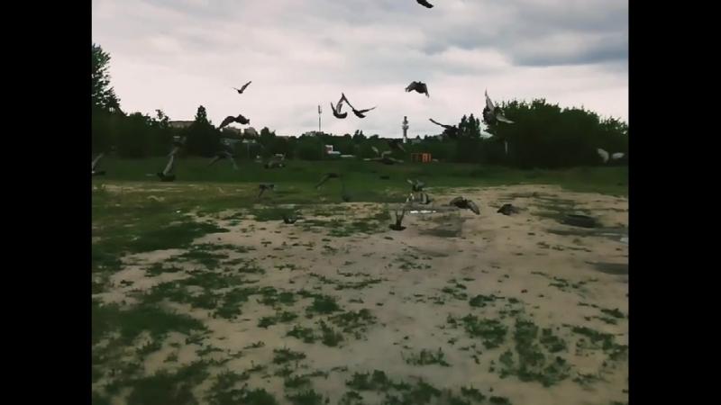 Джек Рассел гоняет голубей.