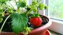 Как выращивать клубнику на подоконнике? Ремонтантная клубника, нейтрального светового дня