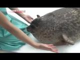 Толстенький тюлень стал настоящей звездой