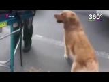 Собака преданно охраняла свою хозяйку в обмороке