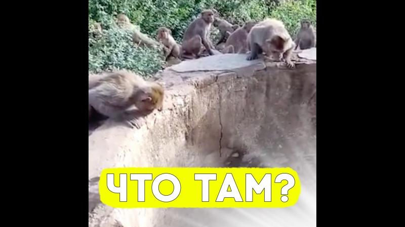 Обезьяны спасли жизнь леопарду!