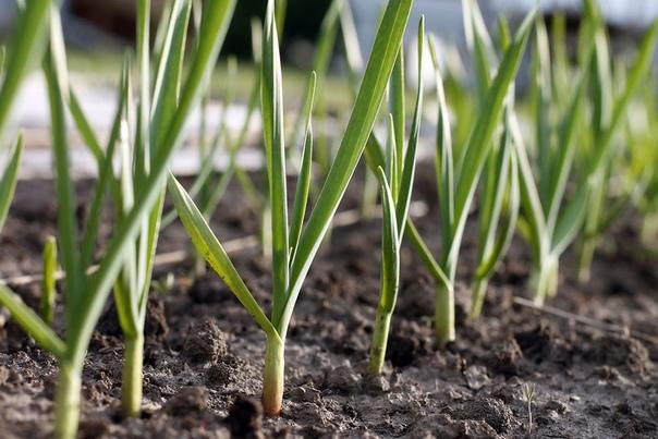 Что делать, если желтеет зимний чеснок Чем подкормить чеснок весной, чтобы он полноценно развивался и дал урожай здоровых головок Растению нужны минеральные и органические удобрения на