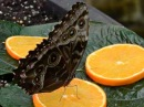 Morpho peleides saugt Orangensaft
