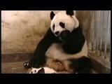 Маленький Панда чихает прикольно