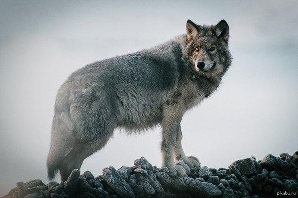Волк - единственный из зверей, который может пойти в бой на более сильного противника. Если же он проиграл бой, то до последнего вздоха смотрит в глаза противника, после чего умирает.