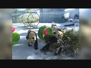 Панды зимой