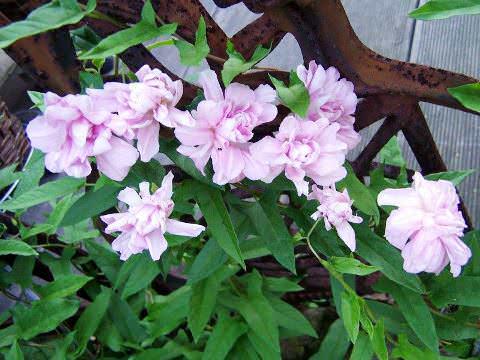 Калистегия махровая - вьюн, который восхищает Цветущая калистегия махровая по-восточному роскошное зрелище. Из каждой пазухи листьев по всей длине выглядывает на длинном цветоносе крупный цветок