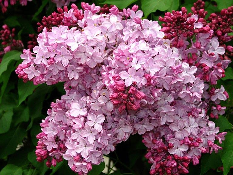 Самые популярные цветущие кустарники - Сирень