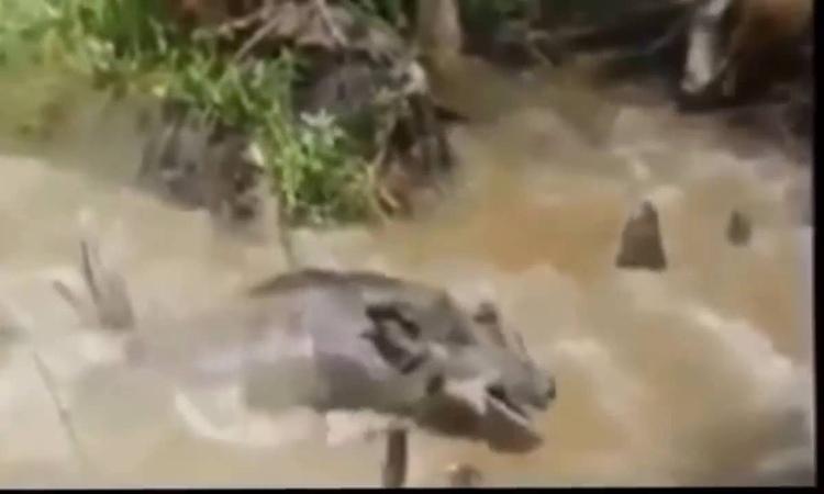 Миссисипский аллигатор атакует дикую свинью