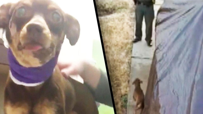 Chihuahua Recovers After Being Shot by Police Officer