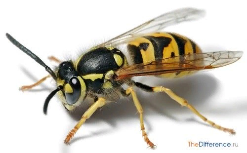 Разница между пчелой и осой