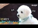 Baby Bichon is cuteness overload.. But there's 7 more of them!