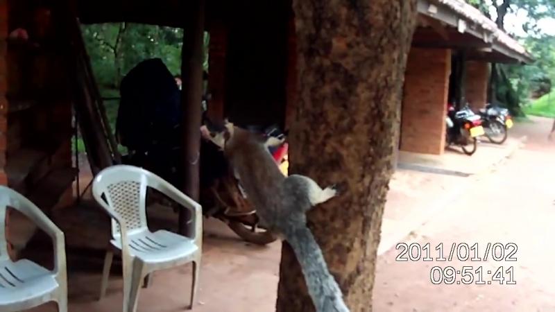 Шри-Ланка. Гигантская белка - Большехвостая Ратуфа.MOV (1)