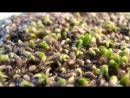 Рост семян Чиа. THEFACESHOP VL