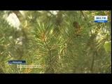 Николай Ковальчук из села Мельники разводит женьшень