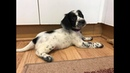 Bella the Sprocker Puppy - Socialisation and Training Programme