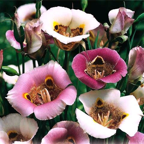 Калохортус - нежная лилия-бабочка
