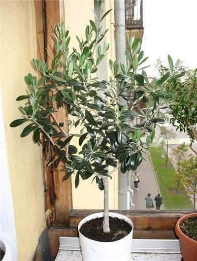 как вырастить оливковое дерево в домашних условиях олива, или оливковое дерево представитель семейства маслиновые. в средиземноморском регионе, на южном берегу крыма, на юге россии и в других