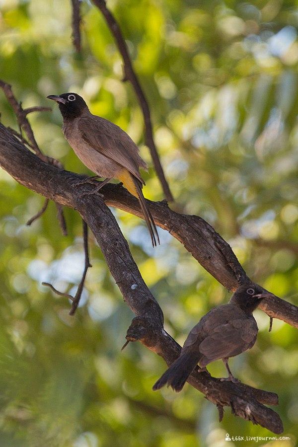 птицы Турции, желтопоясничный настоящий бюльбюль, Pycnonotus xanthopygos