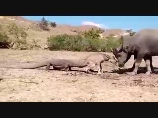 Комодский варан атакует и ест живьем теленка буйвола
