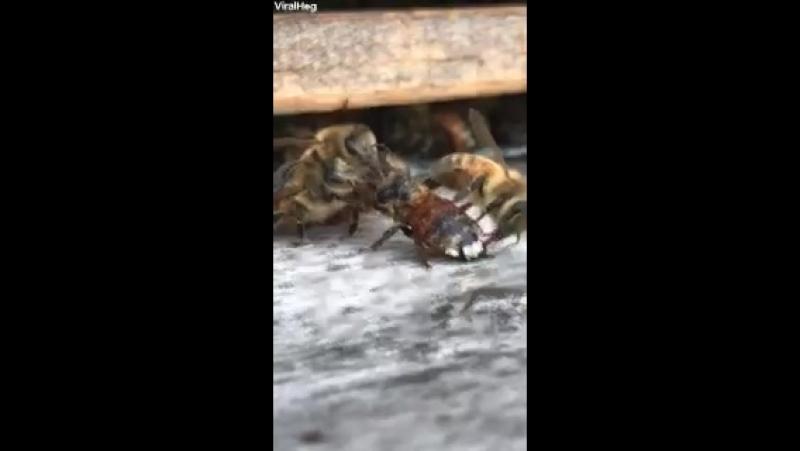 Пчела попала в медовый экстракт а пасечник её вернул к летку сёстры сразу взялись за дело