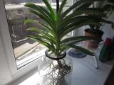 Орхидея Ванда, молодые корни, и немного об удобрении.