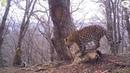 Новые котята леопарда попали на видео «вместе» с тиграми и медведями