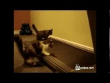 Смішні коти Бігова доріжка
