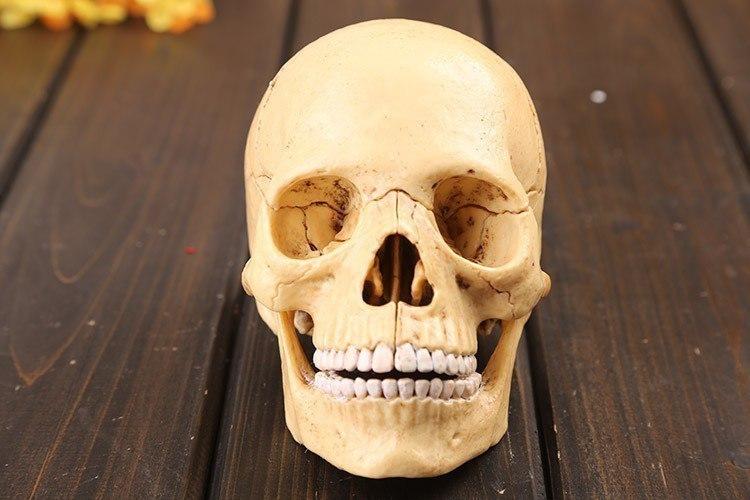 Сборная модель человеческого черепа -
