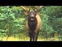 Smoking Elks