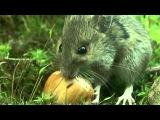 Wood mouse / Европейская, или лесная мышь / Sylvaemus sylvaticus